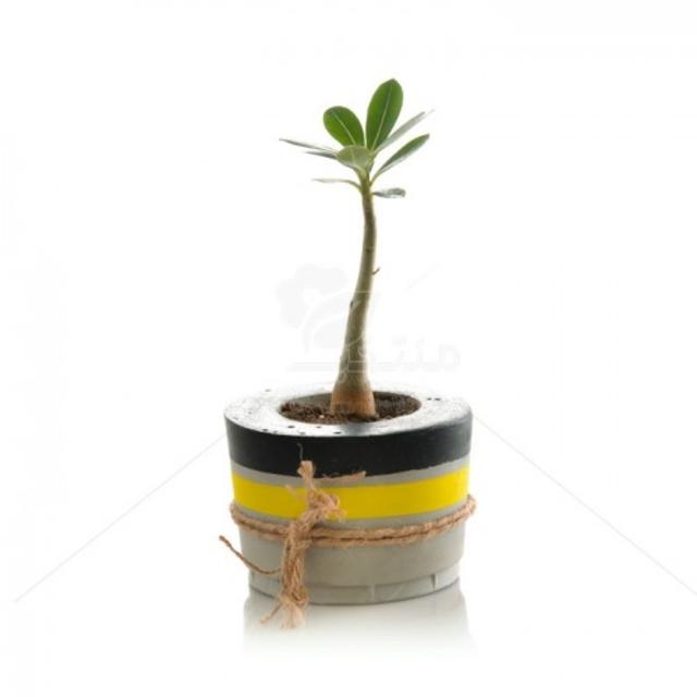 گیاه آپارتمانی آدنیوم در گلدان سیمانی ارتفاع 22 سانتی متر