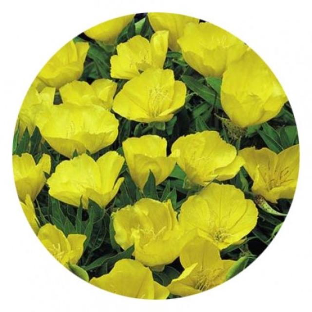 بذر گل مغربی پا بلند زرد