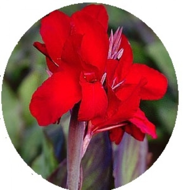 بذر اختر قرمز