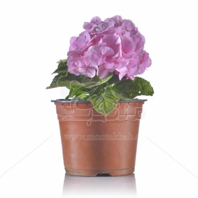گل هورتانسیا (ادریسی) ارتفاع 25 سانتیمتر