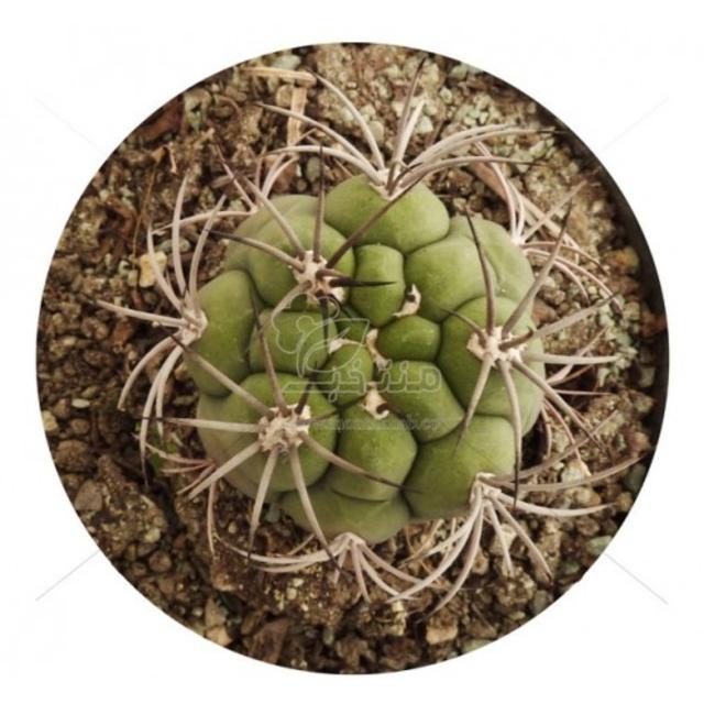 بذر کاکتوس ژمینو بروچی