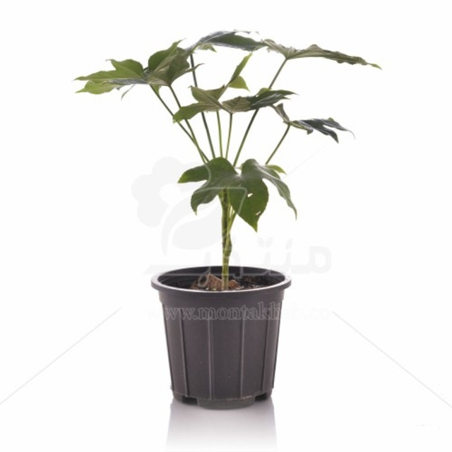 گیاه آپارتمانی آرالیا ژاپنی