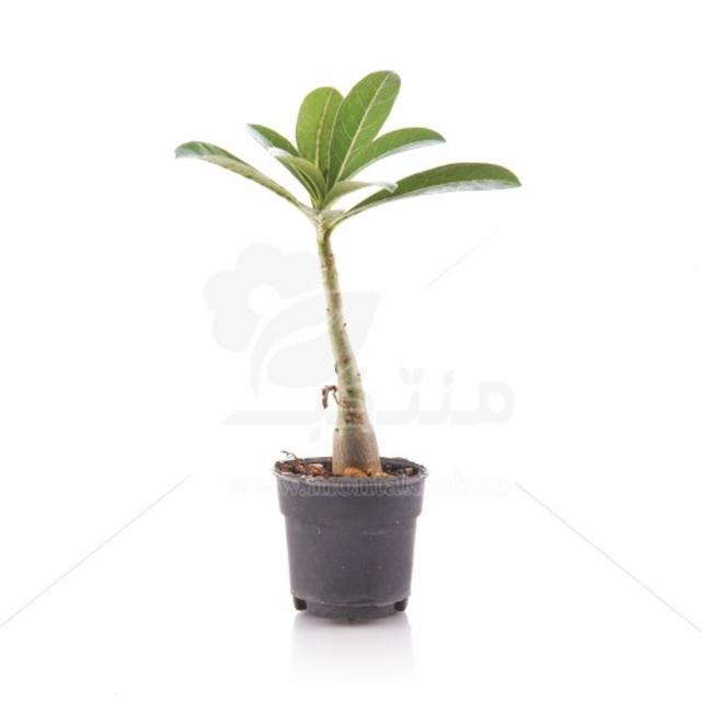 گیاه آپارتمانی آدنیوم (رز صحرایی) 14 سانتی متری