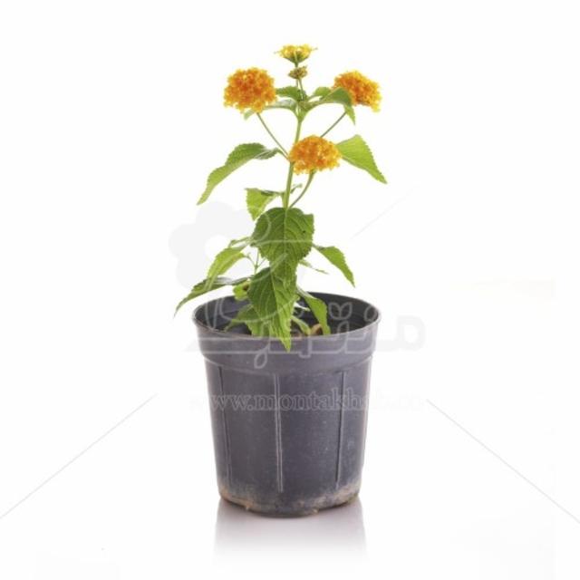 گل شاه پسند ارتفاع 30 سانتیمتر