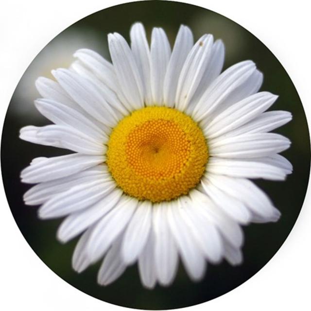 بذر گل مینا