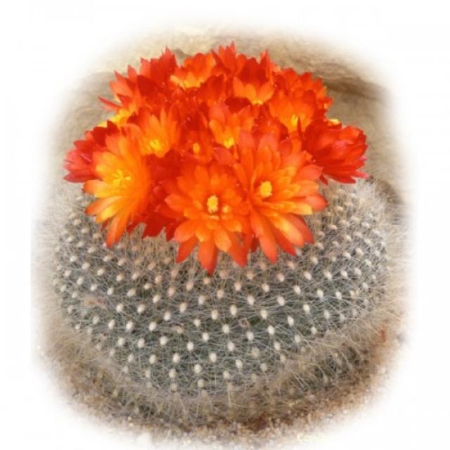 بذر کاکتوس Brasilicactus haselbergii