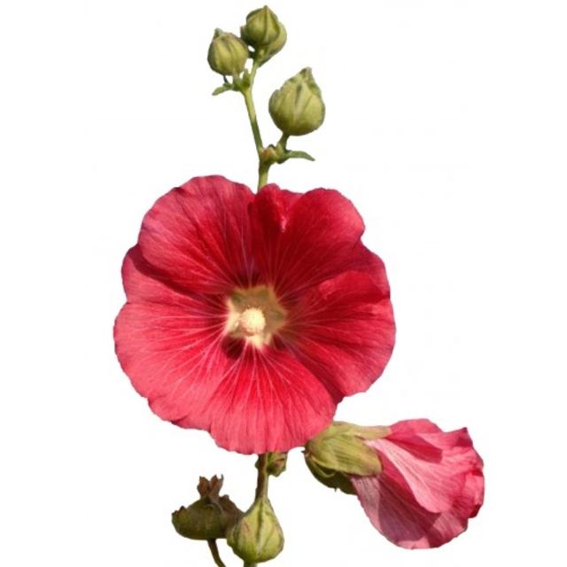 بذر گل ختمی