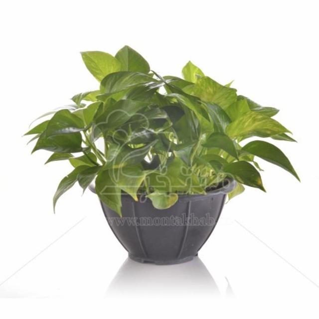 گیاه آپارتمانی پتوس در گلدان سایز 26