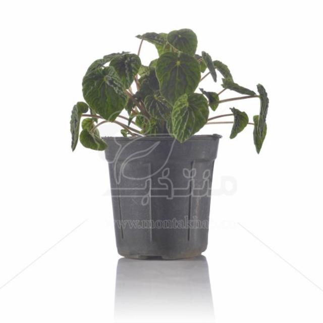 گیاه آپارتمانی پپرومیا کاپراتا سبز 20 سانتی متری