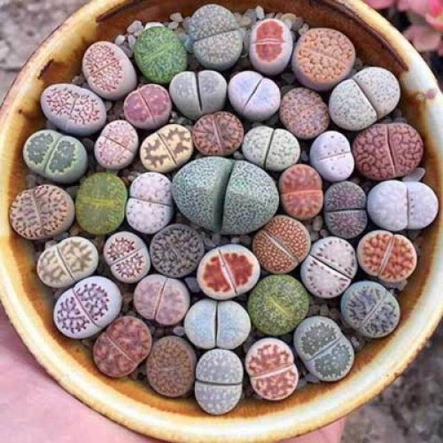 بذر کاکتوس لیتوپس