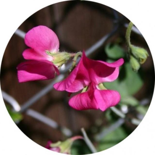 بذر گل نخودی پا متوسط الوان
