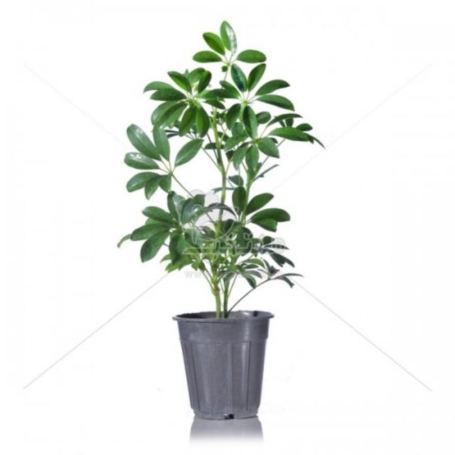 گیاه آپارتمانی شفلرا (درخت چتر) 50 سانتی متری