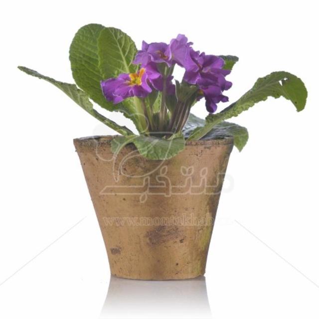 گیاه آپارتمانی پامچال در گلدان سایز 10
