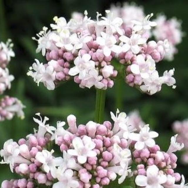 بذر گیاه سنبل الطیب