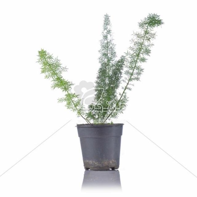 گیاه آپارتمانی شویدی 30 سانتی متری