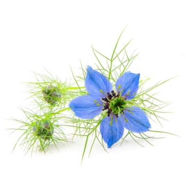 بذر گیاه سیاه دانه