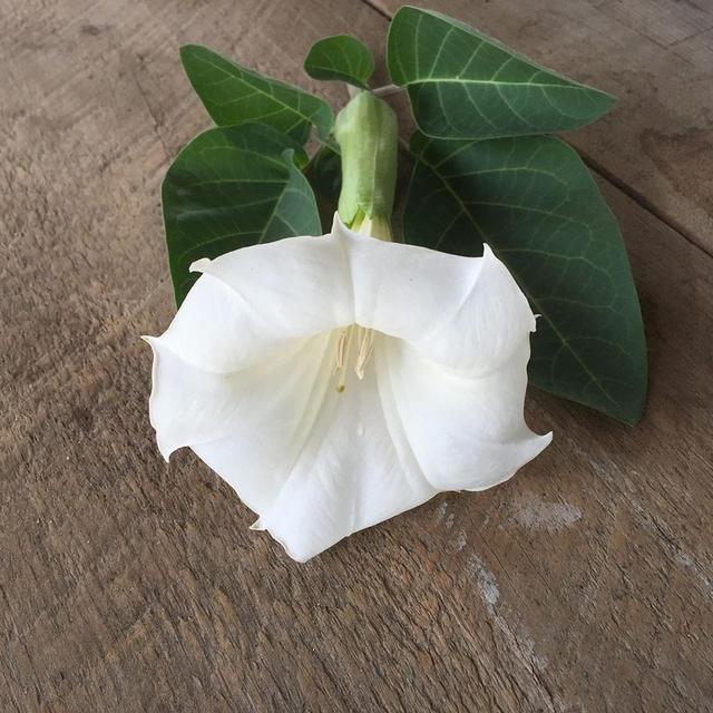 بذر گیاه داتوره ای پابلند سفید