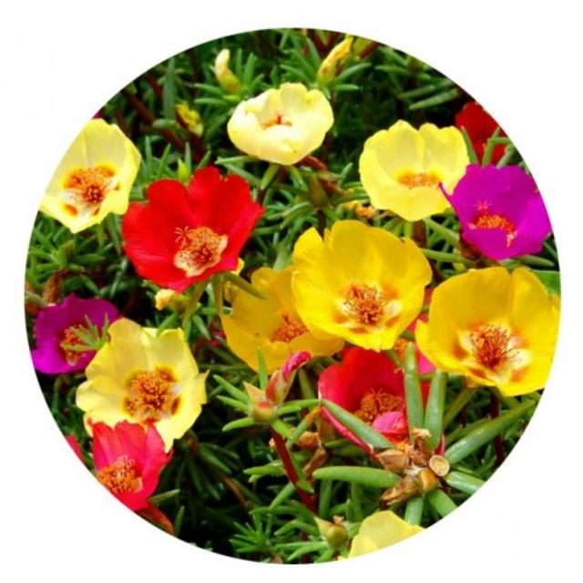 بذر گل ناز آفتابی (الوان)