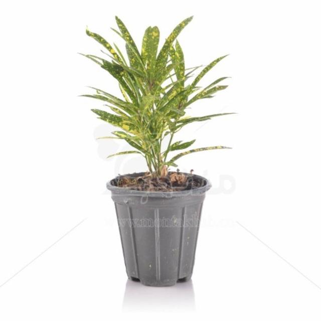 گیاه آپارتمانی آکوبا رشته ای ارتفاع 35 سانت