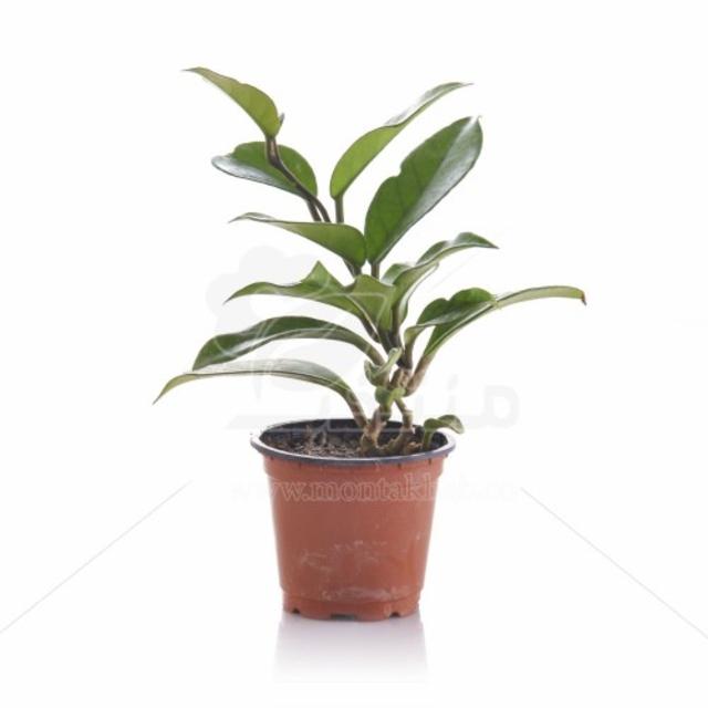 گیاه آپارتمانی هویا ارتفاع 15 سانتیمتر