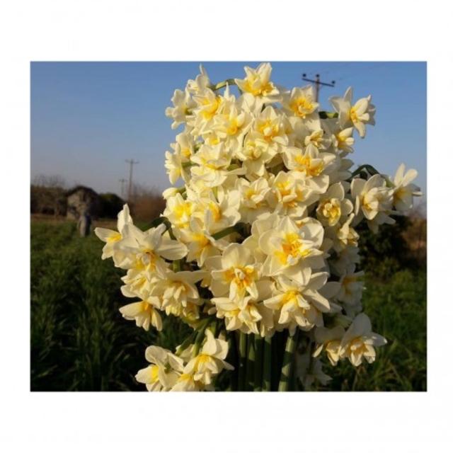 پیاز گل نرگس شصت پر معطر