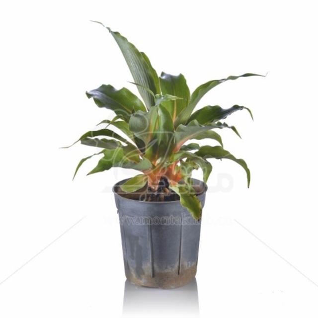 گیاه آپارتمانی فایر فلش یا فلامینگو ارتفاع 30 سانت