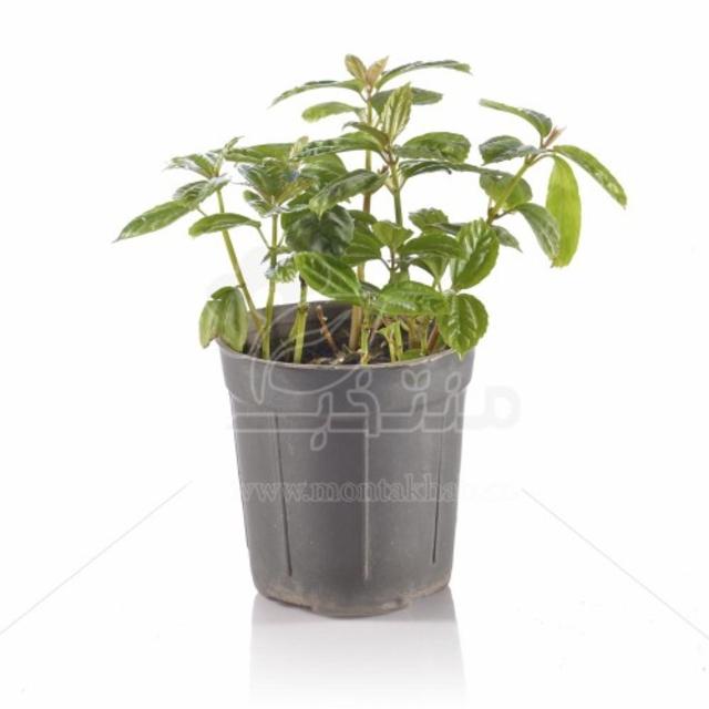 گیاه آپارتمانی پیله آ (گیاه آلومینیومی) 25 سانتی