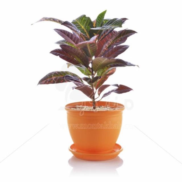 گیاه آپارتمانی کروتون برگ پهن در گلدان مدل 3025