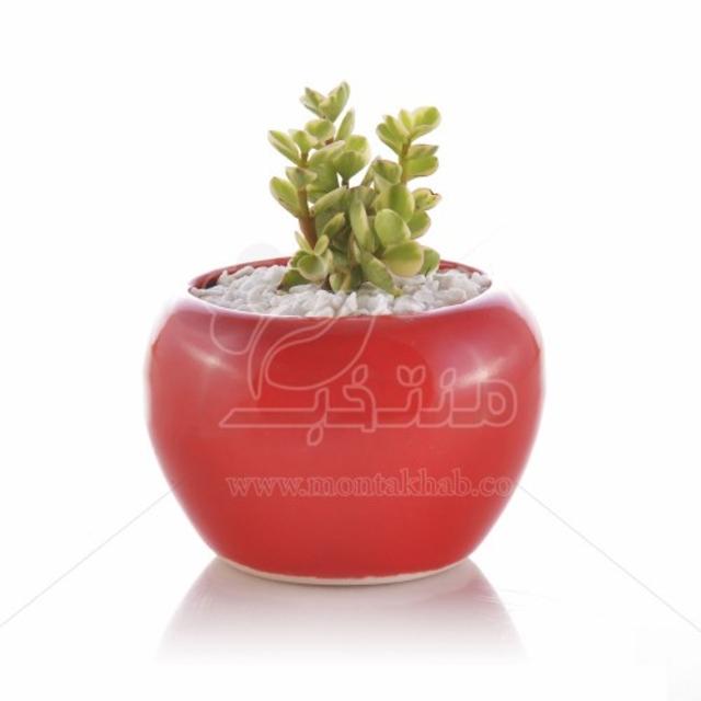 ساکولنت کراسولا خرفه ابلق در گلدان سفالی طرح خمره ای