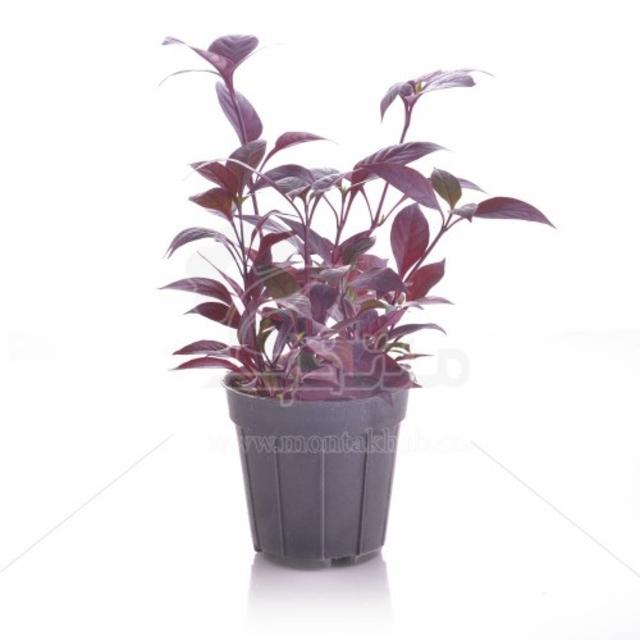 گیاه آیریزین یا برگ خونی ارتفاع 24 سانت