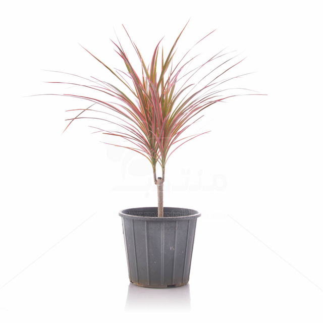 گیاه دراسنا پرچمی صورتی تنه دار ارتفاع 55 سانت