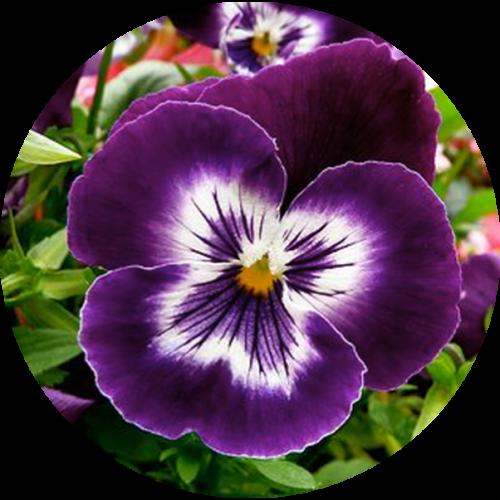 بذر بنفشه گل درشت بنفش خالدار
