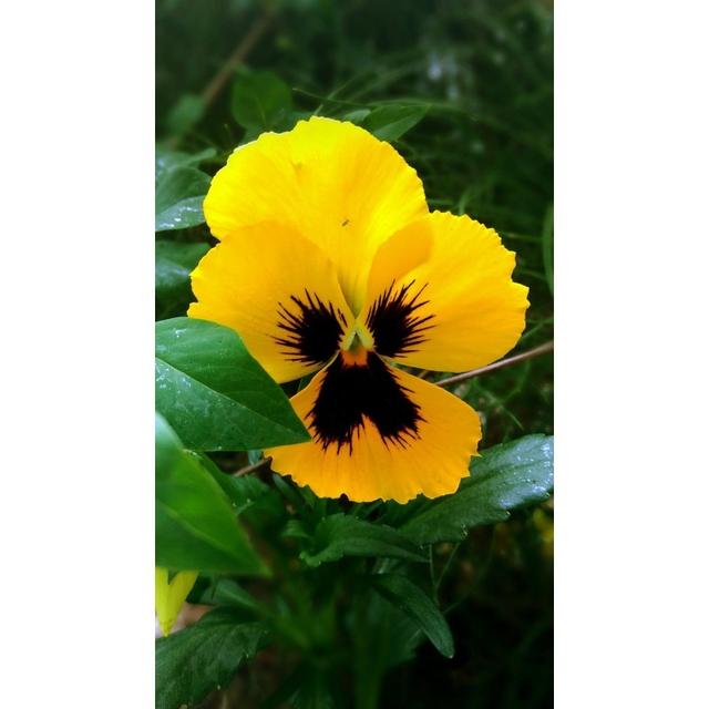 بذر بنفشه گل درشت زرد خالدار