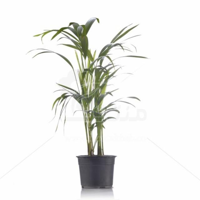 گیاه آپارتمانی اریکا ارتفاع 60 سانت