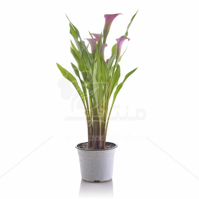 گیاه آپارتمانی شیپوری ارتفاع 40 سانتیمتر