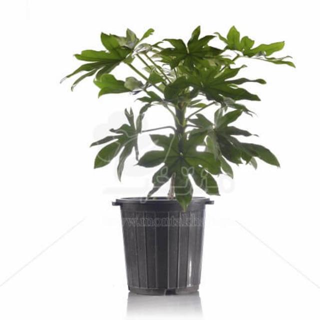 گیاه آپارتمانی آرالیا ژاپنی 60 سانتی متری