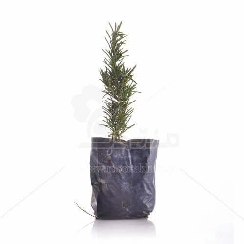 گیاه دارویی رزماری ارتفاع 20 سانتیمتر