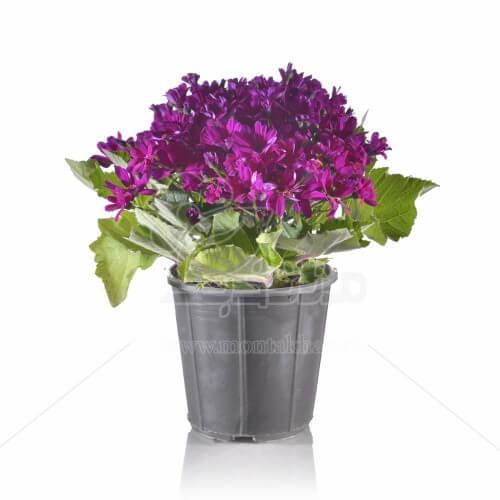 گل سینره مینیاتوری 30 سانتی