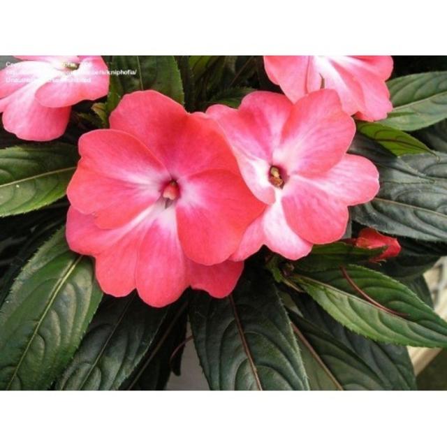 بذر گل حنا (امپیشن)