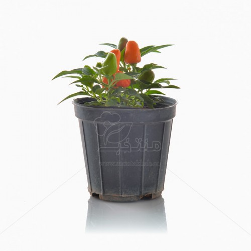 گیاه فلفل زینتی ارتفاع 20 سانتی متر