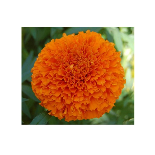 بذر گل جعفری پاکوتاه نارنجی