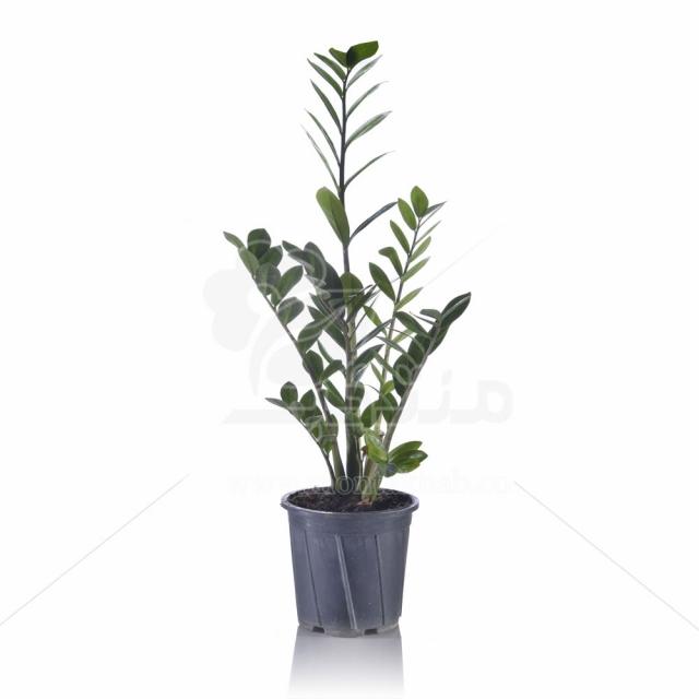 گیاه آپارتمانی زاموفیلیا 60 سانتی متری