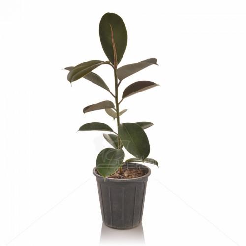 گیاه آپارتمانی فیکوس