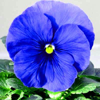 بذر گل بنفشه آبی