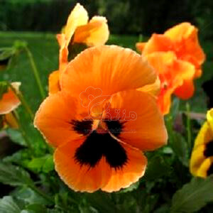 بذر گل بنفشه نارنجی