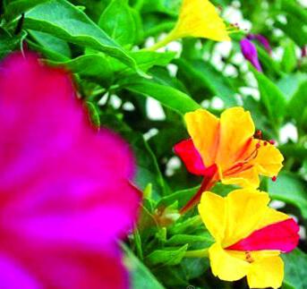 بذر گل لاله عباسی، ابلق پامتوسط، الوان