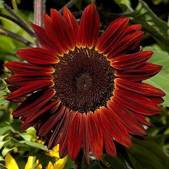 بذر گل آفتاب گردان پابلند قرمز