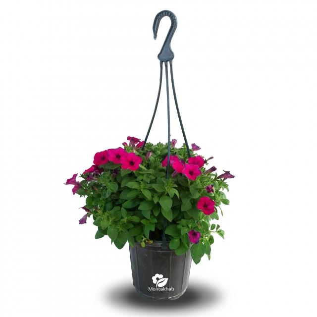 گل اطلسی ارتفاع 25 سانتی متر در گلدان آویز