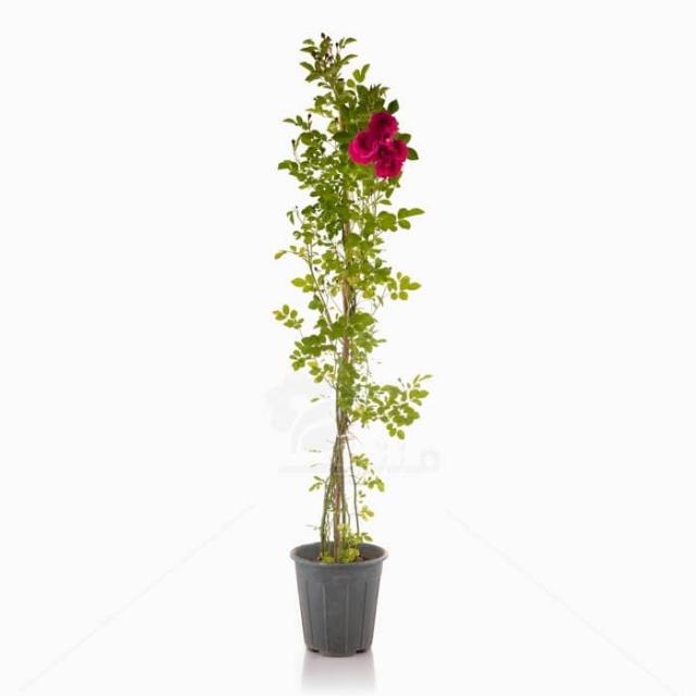 گل نسترن رونده سایز 18