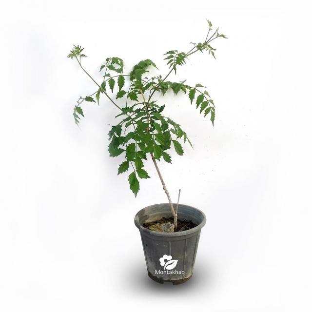 گیاه رونده پیچ گلیسین سایز 18